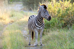 Zebra on the Road Royalty Free Stock Photography