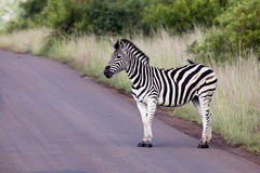 Zebra on road. A single South African Zebra standing on a tar road Stock Images