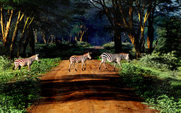 Zebra on the road Royalty Free Stock Image
