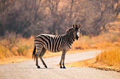 Zebra on the road Stock Images