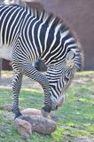 Zebra on rock Stock Photo