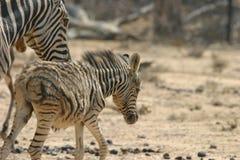 zebra rodzinna Fotografia Stock