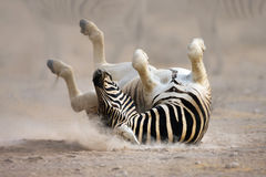 Zebra rolling Stock Image