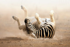 Zebra rolling. On dusty white sand; Etosha Royalty Free Stock Photography