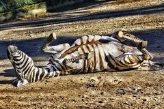 Zebra rolling around in the dirt Royalty Free Stock Images