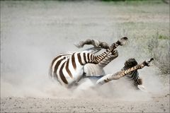 Zebra rolling in the dust. Royalty Free Stock Photo