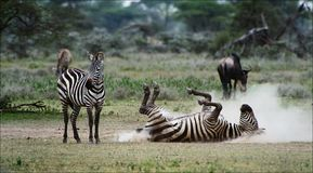 Zebra rolling in the dust.  Stock Photos