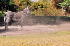 Zebra After Rolling In the Dust Royalty Free Stock Photo