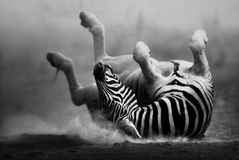 Zebra rolling in the dust. (Artistic processing Royalty Free Stock Photos