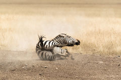 Zebra rolling in the dust Stock Images