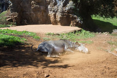 Zebra rolling in dusty ground Stock Images