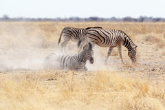 Zebra rolling on dusty white sand Royalty Free Stock Photography