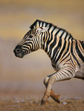 Zebra running Stock Photos