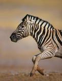Zebra running. Close-up of a Zebra running at full speed; Etosha Stock Photos
