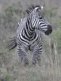Zebra running Royalty Free Stock Photos