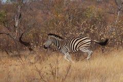 Zebra Running Fotos de Stock