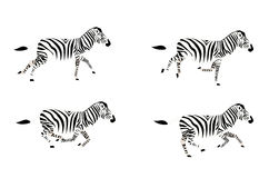 Zebra Running fotografia de stock royalty free