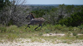 Zebra Running Stock Image