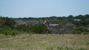 Zebra Running Stock Photo