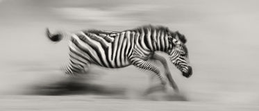 Zebra is running in the dust in motion. Kenya. Tanzania. National Park. Serengeti. Masai Mara. Royalty Free Stock Image