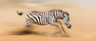 Zebra is running in the dust in motion. Kenya. Tanzania. National Park. Serengeti. Masai Mara. Stock Photo