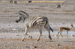 Zebra running, Etosha, Namibia Royalty Free Stock Photo