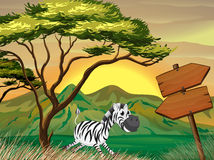 A zebra running following the wooden arrowboards Stock Images