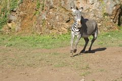 Zebra running free Stock Photo