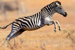 Zebra running and jumping Royalty Free Stock Photos