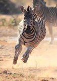 Zebra running scared from Lions Stock Photo