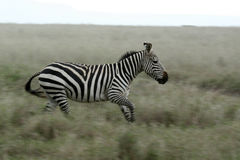 Zebra Running - Serengeti Safari, Tanzania, Africa Stock Photography