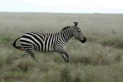 Zebra Running - Serengeti Safari, Tanzania, Africa Stock Photography