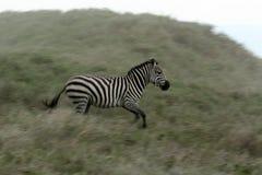 Zebra Running - Serengeti Safari, Tanzania, Africa Stock Photos