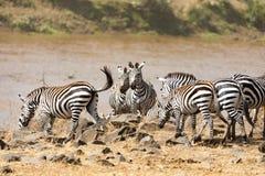 Zebra crossing the Mara river Royalty Free Stock Image