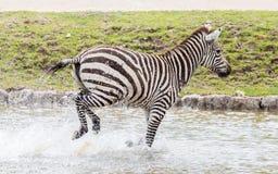 Zebras Running Through Water Zebra's Running Throug...