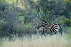 Zebra in Südafrika Stockbild
