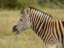 Zebra in Südafrika Lizenzfreies Stockfoto