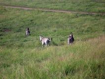 Zebra in Südafrika Stockbilder