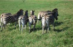 Zebra in Südafrika Stockfotos