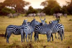 Zebra\'s in africa walking on the savannah Stock Photos