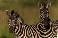 Zebras Alert Wildlife. Zebras two standing side by side alert for any attacks from lion predators at the last hour of sunlight Royalty Free Stock Photos