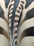 Zebra's back. A zebra's back with its characteristic black and white pattern stock photo