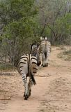 Zebra`s back walking away in the Savanna. – South Africa Royalty Free Stock Images