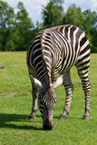 Zebra's background Royalty Free Stock Photos
