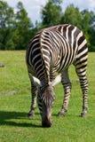 Zebra's background Royalty Free Stock Photos