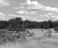 Zebra's, black and white Stock Photo