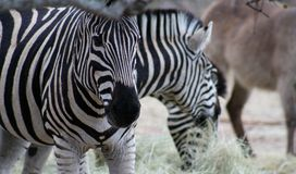 Zebra`s closeup in the Savanna Stock Image