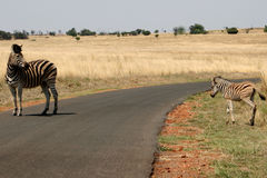 Zebra's crossing a road Royalty Free Stock Photo
