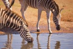 Zebra ` s, das in Addo Elephant NP, Südafrika trinkt Stockfotos