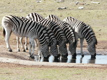 Zebra's Drinking Royalty Free Stock Image